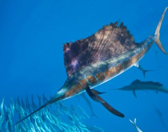 Sailfish Mauritius-min