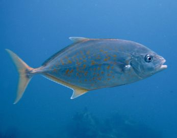 Yellow Spotted trevally